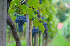 De bos van druiven royalty-vrije stock afbeelding