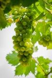 De bos van druiven hangt van een wijnstok royalty-vrije stock afbeeldingen