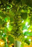 De bos van druiven hangt van een wijnstok royalty-vrije stock afbeelding
