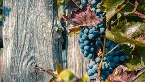 de bos van druiven met bladeren sluit omhoog tegen de achtergrond van een oude houten omheining met natuurlijk daglicht royalty-vrije stock afbeelding