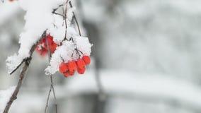 De bos van een lijsterbes behandelde een sneeuw in een de winterbos stock footage