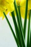 De bos van gele narcissen royalty-vrije stock afbeeldingen