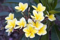 De Bos van Plumeria Royalty-vrije Stock Foto