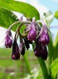 De bos van smeerwortelbloesems Royalty-vrije Stock Afbeelding