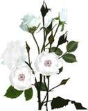 De bos van witte meer brier en nam bloemen toe Stock Fotografie