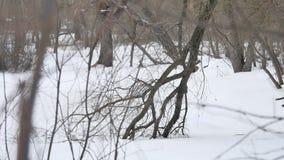 De bos zwart-witte winter het landschap van de de bomenaard van de de winter bos droge sneeuw in openlucht stock videobeelden