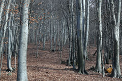 De bosachtergrond van de beukboom Stock Foto's