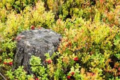 De bosbessen en de Amerikaanse veenbessen van Bush rond de stomp in het bos Royalty-vrije Stock Afbeelding
