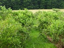 De bosbessen rijpen op het gebied stock foto