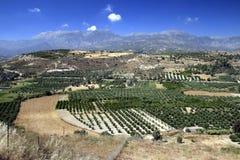 De Bosjes van de olijfboom in Kreta Royalty-vrije Stock Afbeelding