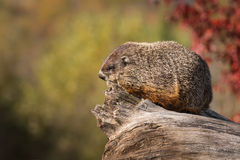 De bosmarmot (Marmota monax) kijkt Linker van Logboek Stock Afbeelding