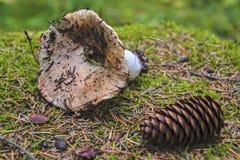 De bospaddestoel ligt op bemost stompclose-up royalty-vrije stock fotografie