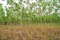 De bossen van de eucalyptus Royalty-vrije Stock Fotografie
