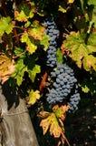 De bossen van rode wijndruiven hangen van een wijnstok, chianti, Toscanië Stock Foto