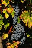 De bossen van rode wijndruiven hangen van een wijnstok, chianti, Toscanië Stock Afbeelding