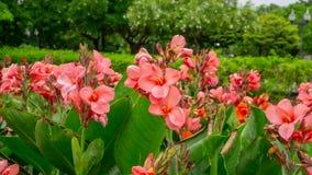 De bossen van roze bloemblaadjes van Canna-Lelie kennen als Indische korte installatie of Bulsarana-bloembloesem op groene blader stock fotografie
