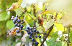 De bossen van wilde rode wijndruiven hangen van een oude wijnstok stock foto's