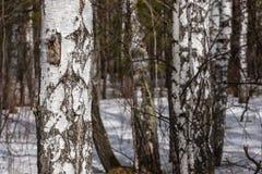 De bossneeuw van de boomstammenberk Stock Afbeeldingen