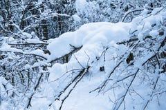 De bostakken van het de winterlandschap met oranje volkomen bevroren die bladeren omhoog met sneeuw worden behandeld Royalty-vrije Stock Afbeelding