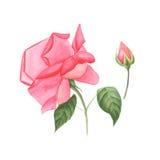 De botanische schets van de waterverfillustratie van roze nam toe en nam knop op witte achtergrond toe Stock Foto