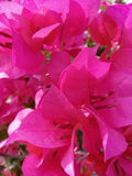 De bougainvillea bloeien achtergrond Stock Fotografie