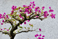 De bougainvillea bloeien bonsai Royalty-vrije Stock Foto