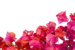 De bougainvillea bloeien frame Royalty-vrije Stock Afbeelding