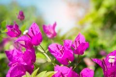De bougainvillea bloeien, roze bloemen in het park Royalty-vrije Stock Foto