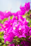 De bougainvillea bloeien, roze bloemen in het park Stock Foto