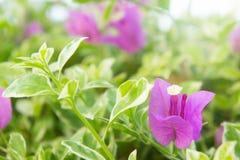 De bougainvillea bloeien, roze bloemen in het park Royalty-vrije Stock Foto's