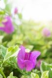 De bougainvillea bloeien, roze bloemen in het park Stock Foto's