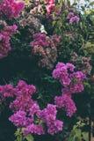 De bougainvillea bloeien textuur en achtergrond Purpere bloemen van bougainvilleaboom Stock Foto