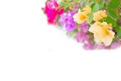 De bougainvillea, document bloeien: voor achtergrondgebruik Stock Foto's