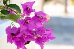 De bougainvillea zijn roze bloemen, Spanje Royalty-vrije Stock Foto's