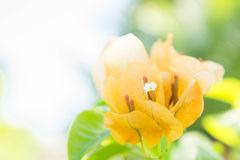 De Bougainvilleabloem, oranje bloemen bloeit in de zonneschijn Stock Foto