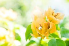De Bougainvilleabloem, oranje bloemen bloeit in de zonneschijn Royalty-vrije Stock Afbeelding