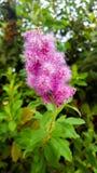 De bourgeon fin rose magnifique dans le sauvage photo libre de droits