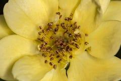 De bourgeon floral de fin macro jaune jaune de bourgeon floral - Images libres de droits