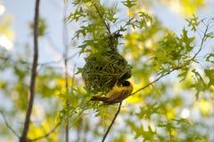 De bouw van de vogel nest Royalty-vrije Stock Foto's