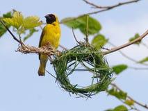 De bouw van de vogel nest stock foto's