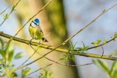 De bouw van een nest Royalty-vrije Stock Afbeeldingen