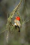 De bouw van het nest Stock Afbeeldingen