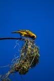 De bouw van het Nest van de Vogel van de wever Royalty-vrije Stock Afbeeldingen