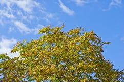 De bovenkant van de paardekastanjeboom tegen de hemel Stock Afbeeldingen