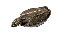 De bovenkant van de schildpadschildpad - neer, proberend zich om te keren Royalty-vrije Stock Foto