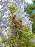 De bovenkant van een groene spar met kegels Stock Fotografie