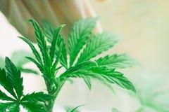 De bovenkant van een kleine die cannabis plant het kweken van een macro op een vegetatie en de handen van een medische beroeps wo Royalty-vrije Stock Afbeelding