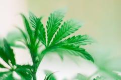 De bovenkant van een kleine die cannabis plant het kweken van een macro op een vegetatie wordt geschoten Royalty-vrije Stock Foto