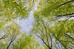 De bovenkanten van bomen in de lentebos Stock Foto's