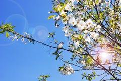 De bovenkanten van de bomen tegen de hemel De bloesems van de kersenboom stock foto